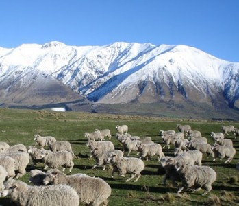 mt_hutt_sheep